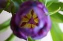 Paarse Tulpen 2