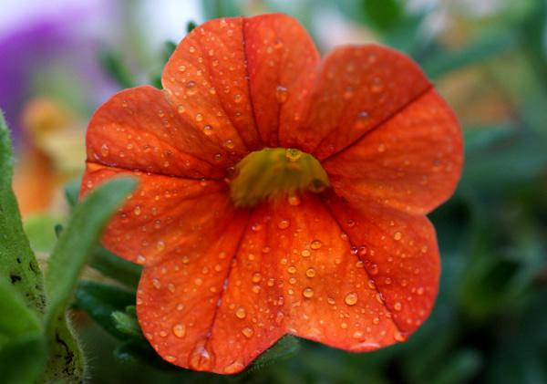Oranje Petunia Druppels