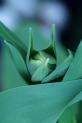 Tulpen 3
