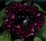 Petunia 4 a