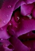 Tulpen 12