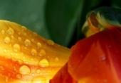 Tulpen 15