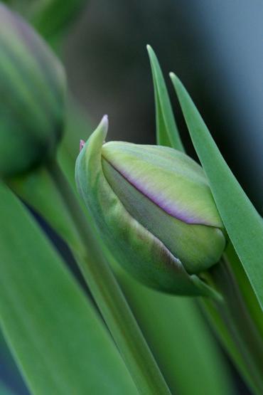 Tulpen 5