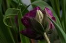 Tulpen 8 620