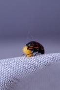 Lieveheersbeestje 1