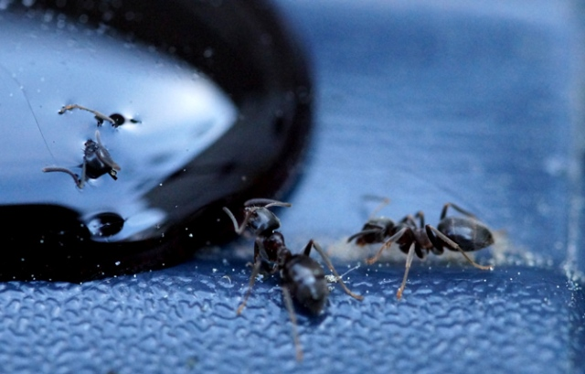 Mieren 1 Honing