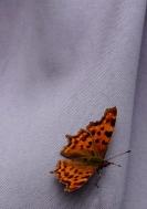 Vlinder 1 A