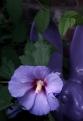 Hibiscus 4