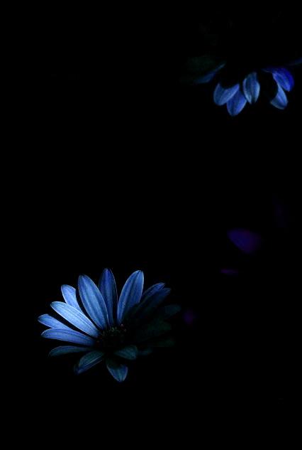 Spaanse Margriet Blauw